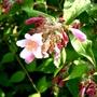 Kolkwitzia (Kolkwitzia amabilis (American Beauty Bush))