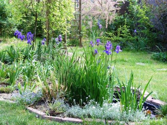 Irises (Iris sibirica (Siberian iris))