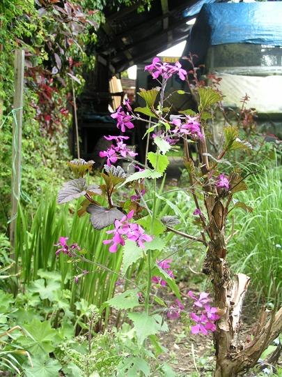 Lunaria annua (Lunaria annua (Honesty))