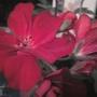 Red Pelargonium...