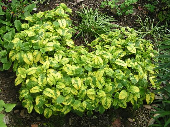 Melissa officinalis variegata (Melissa officinalis variegata)