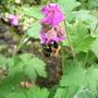 geranium macrorrhizum & bee (Geranium macrorhizum)