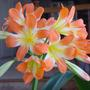 Clivia (Clivia sp.)