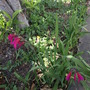 Wild or field gladiolus (GLADIOLUS ITALICUS)