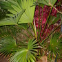 Trachycarpus wagnerianus - Dwarf Windmill Palm (Trachycarpus wagnerianus - Dwarf Windmill Palm)