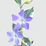 Vinca_major_variegata_veriegated_periwinkle_