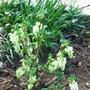 White Ribes