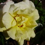 peace rose (H T rose)