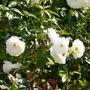 iceberg (rosa floribunda)