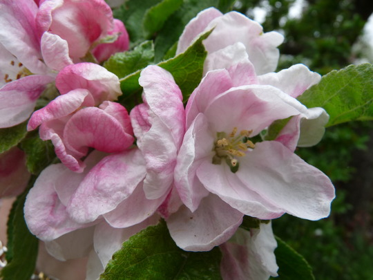 Apple Blossom 2 (Malus domestica (Apple))