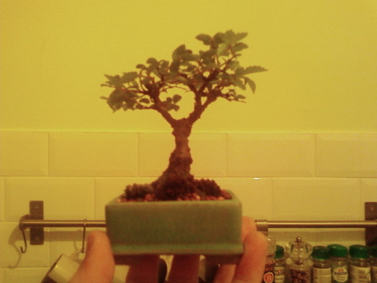 mame elm, young root cutting