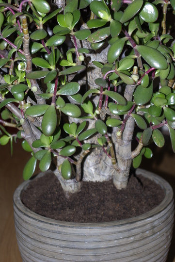 Nelly (Crassula ovata (Jade tree))