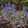 Ajuga_arctic_frost_blooms_4_30_04