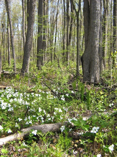 the trillium grow in drifts on the forest floor.
