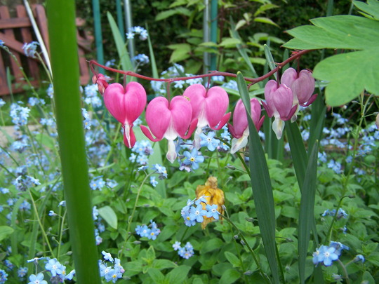 lovely hearts (Dicentra eximia (Bleeding Heart))