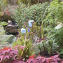 By the pond  (Meconopsis betonicifolia)
