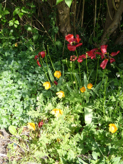 Meconopsis taking over from the tulips (Meconopsis cambrica (Double Welsh Poppy))