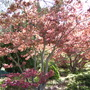 Acer at Harlow Carr