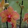 Orchid (Phalaenopsis) (Phalaenopsis)