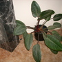Philodendron 'Congo Rojo' - Red Congo Philodendron (Philodendron 'Congo Rojo' - Red Congo Philodendron)