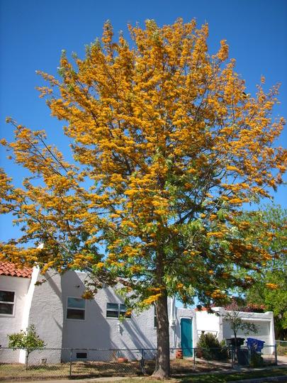 Grevillea robusta - Silk Oak (Grevillea robusta - Silk Oak)