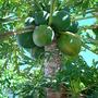 Carica papaya - variety unknown (Carica papaya)