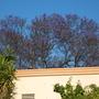 Huge Jacaranda mimosifolia - Jacaranda Tree (Huge Jacaranda mimosifolia - Jacaranda Tree)