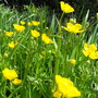 Buttercups Growing Well Now