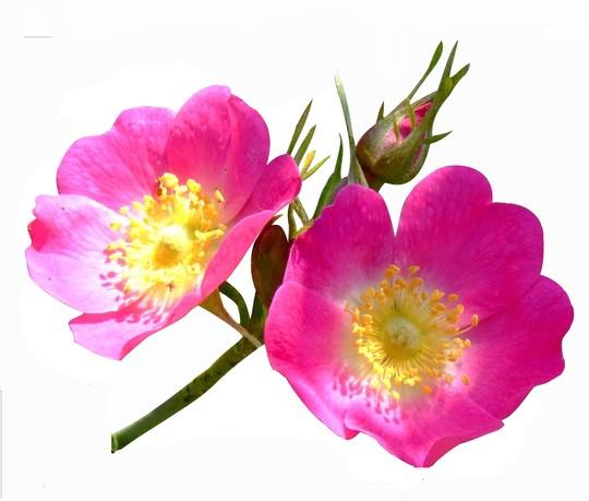 Rosa canina (Dog Rose) (Rosa canina (Dog Rose))