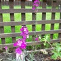 Erysimumm (Erysimum bicolor (Bowles' perennial wallflower))