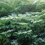 Viburnum Mariessii (Viburnum Maresii)