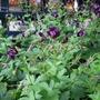 A garden flower photo (Geranium phaeum (Mourning widow))