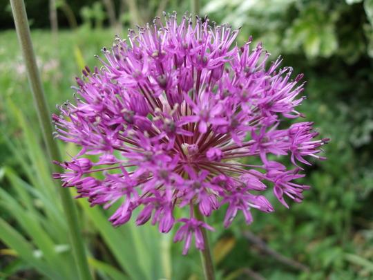 Allium 'Purple Sensation' (Allium 'Purple Sensation')