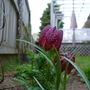 Fritillaria Meleagris - checkered lily (Fritillaria meleagris (Snake's head fritillary))