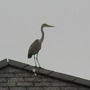 heron looking for a quick snack from my pond