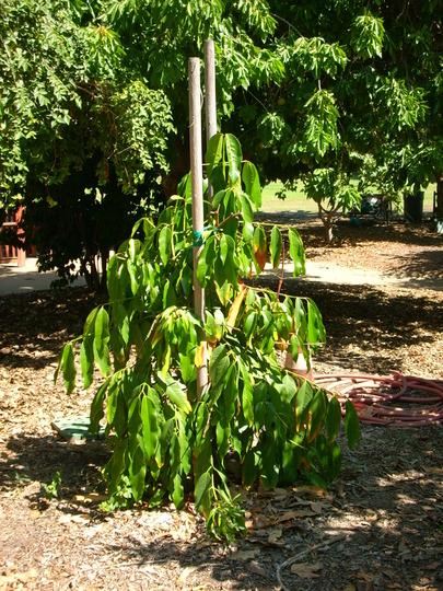 Garcinia xanthochymus - False Mangosteen (Garcinia xanthochymus - False Mangosteen)