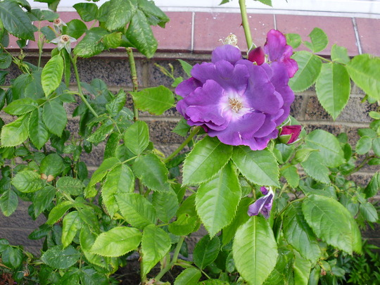 rhaposody in blue (shrub rose)