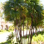 Rhapis humilis - Slender Lady Palm (Rhapis humilis - Slender Lady Palm)