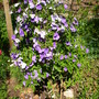 Brunfelsia pauciflora - Yesterday, Today and Tomorrow Shrub (Brunfelsia pauciflora - Yesterday, Today and Tomorrow Shrub)