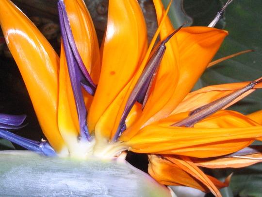 Strelitzia Reginae. (Strelitzia reginae (Bird of paradise))