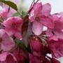 Crabapple 'Prarifire' (Malus x zumi (Crab apple))