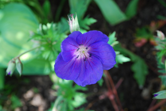 Hardy Geranium Orion (Geranium himalayense (Hardy geranium) Orion)