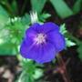 Geranium himalayense (Hardy geranium) Orion