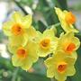 Narcissus (Narcissus)
