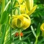 Close up of Turk's-Cap Lily - June 2007. (Lilium pyrenaicum)