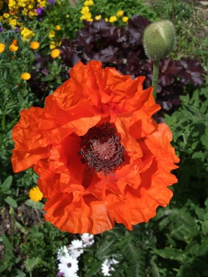Papaver orientale 'Doubloon' (Papaver orientale (Oriental poppy))