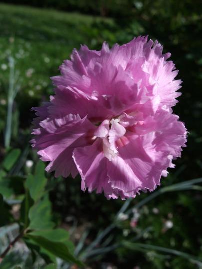 Pink Dianthus (Dianthus)