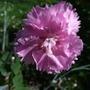 Pink_dianthus