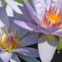 Waterlily_4