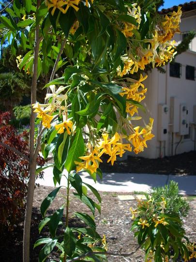 Hymenosporum flavum - Queensland Frangipani (Hymenosporum flavum - Queensland Frangipani)